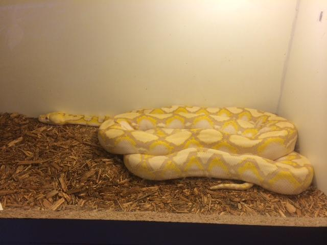 Off the Hook features a 12-foot Albino python that is a friendly snake