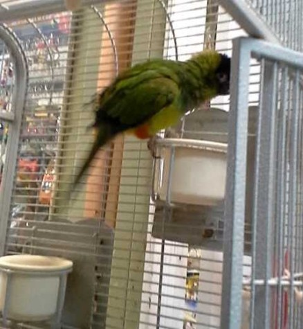Arthur, a Parakeet, is way ahead of his training schedule and has already became a lot more friendly in just two weeks