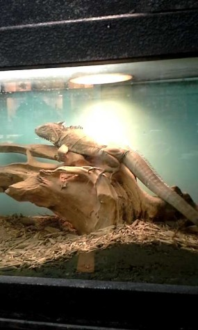 This bearded dragon is one of the more intimidating animals Off the Hook has to  offer