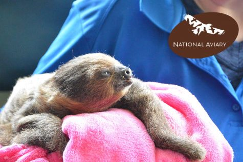 National Aviary introduces new baby sloth