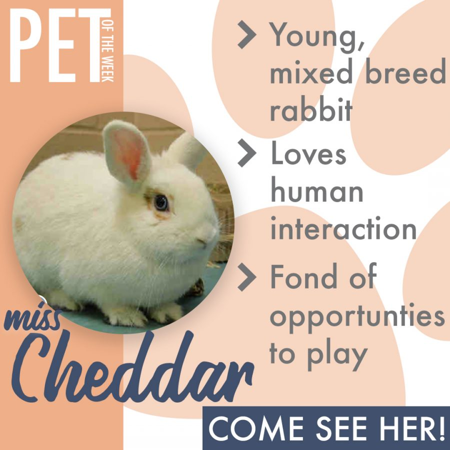 Pet of the Week(miss cheddar)